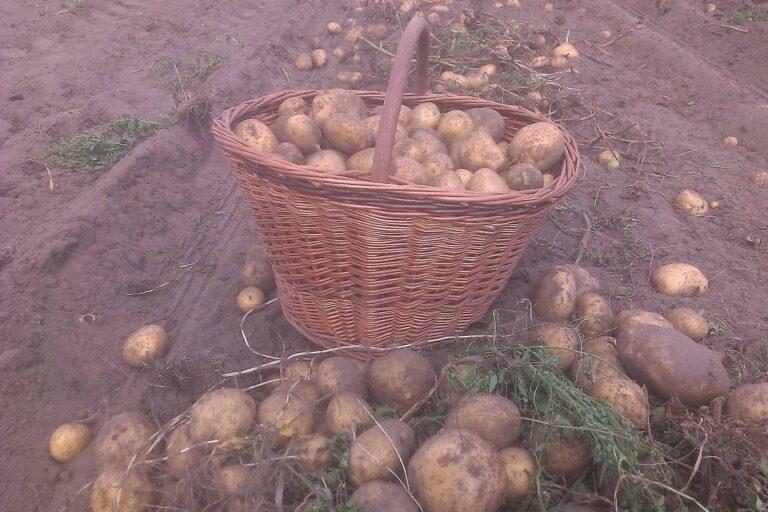 kuszka ziemniaków